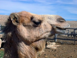 accountable-care-organization-regulations-the-aco-is-a-camel-not-a-unicorn